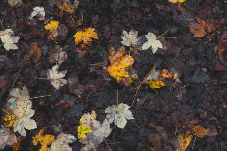 Vibrant fall leaves on the brown forest floor