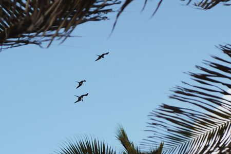 Three frigate birds flying overhead in formation against the blue sky in Bonaire