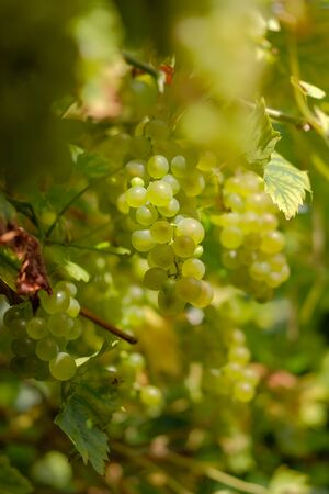 Ripe white grapes hanging in a small bunch close up