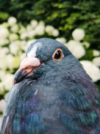 Pigeon head looking at the camera close up