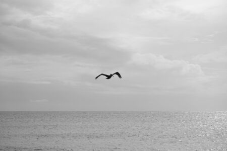Pelican flying above sea in Bonaire in black and white