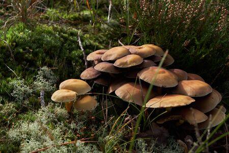 A cluster of velvet shank mushrooms in the dunes in Bergen Noord-Holland