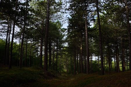 Towering pine trees in the Bergerbos in Bergen Noord-Holland Stok Fotoğraf