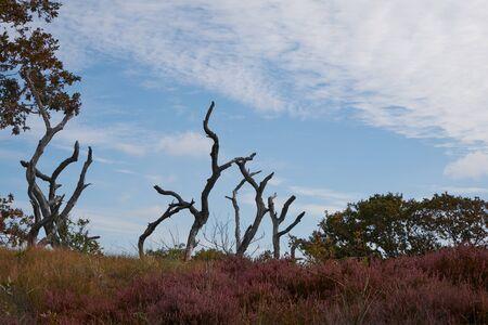 Dead trees in a flowering purple heather field in Bergen Noord-Holland Imagens