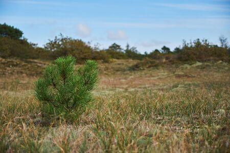 A baby pine tree growing in an empty field in the dunes in Bergen Noord-Holland Imagens