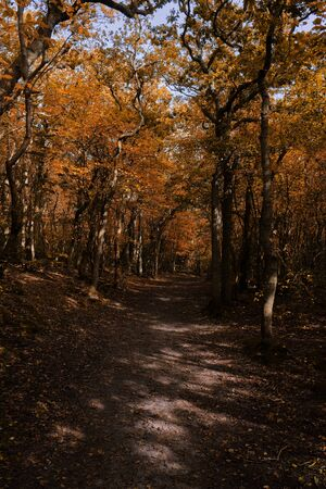 A sand trail leading through a beautiful autumn forest with yellow and orange colors and dead leaves on the ground