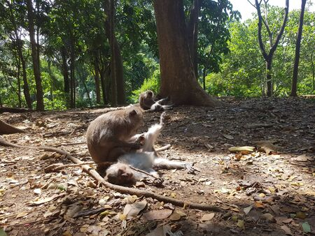 Flea picking macaque monkeys on the forest floor in Indonesia Imagens