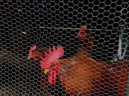 Two chickens and a rooster behind chicken wire on a farm
