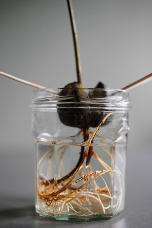 Close up of the roots system from a sprouted avocado plant growing in a jar