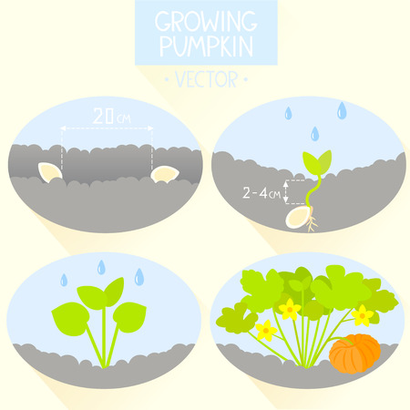 peat: flat simple infographic how to growing pumpkin. vector illustration