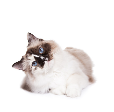 Curious ragdoll cat laying down on a white background