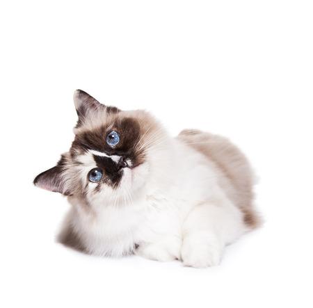 Curious Ragdoll Katze zur Festlegung auf weißem Hintergrund Standard-Bild - 38781673