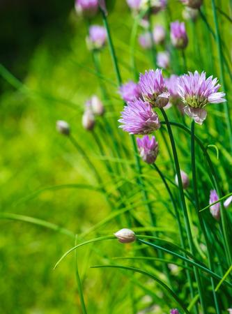 cebollin: Primer plano de la púrpura de las cebolletas en flor en el jardín.
