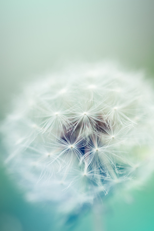 close up of Dandelion seeds with creative color and shallow focus Stock Photo