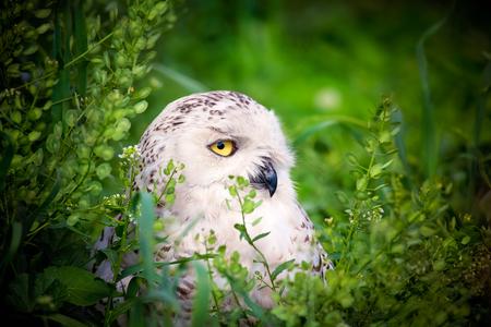 zijaanzicht van een White Snowy Owl (Bubo scandiacus) omlijst door vegetatie. Stockfoto