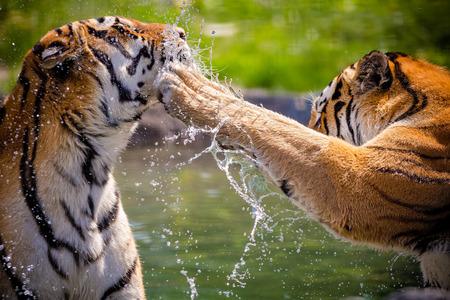 Twee volwassen tijgers spelen in het water Stockfoto