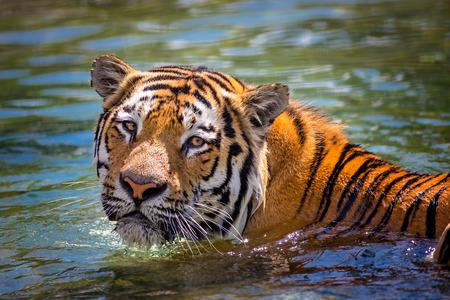 panthera tigris: A tiger (panthera tigris) swimming in water.