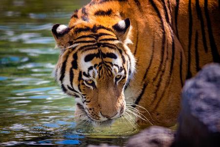 panthera tigris: A tiger (panthera tigris) drinking water. Stock Photo