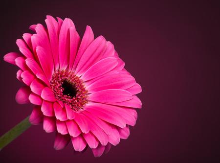Roze Gerbera Daisy Stockfoto