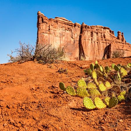 Stacheliger Birnenkaktus im Arches Nationalpark mit dem Turm der babel Sandsteinformation im Hintergrund Standard-Bild