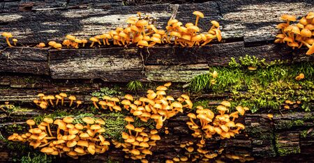 group of Small Orange Mushrooms on a Log (Mycena leaiana) Stock Photo