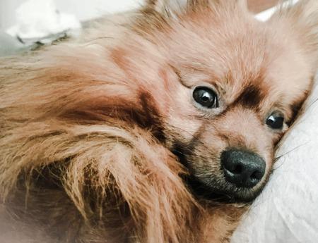 spitz: Illustration of a dog. Spitz.