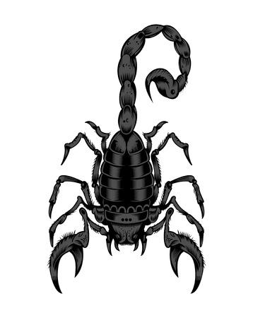 arthropoda: Illustration of scorpion. Illustration