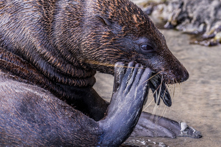 attempts: Adult seal attempts to crack a shell to eat the tasty mussel inside