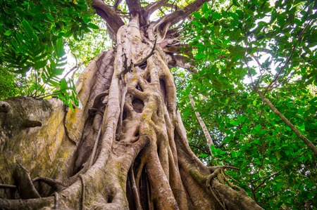 Huge fig tree with impressive roots in the old rainforest near Cape Tribulation