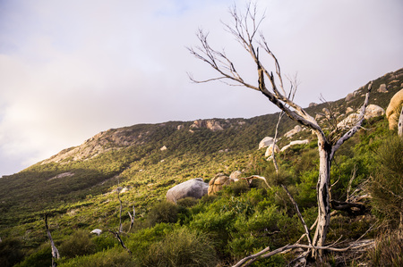wilsons promontory: Dead tree in front of hill in afternoon light in Wilsons Promontory National Park at Oberon Bay, Victoria, Australia