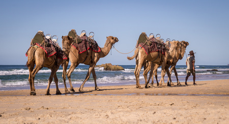 Coffs Harbour, Australia on August 14, 2016: Tourist guide walking camels on beach