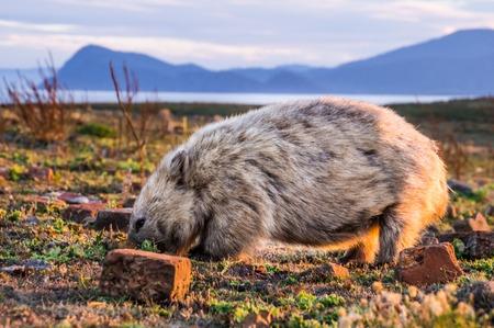 Primer plano de Wombat australiano al atardecer en Maria Island, Tasmania, Australia
