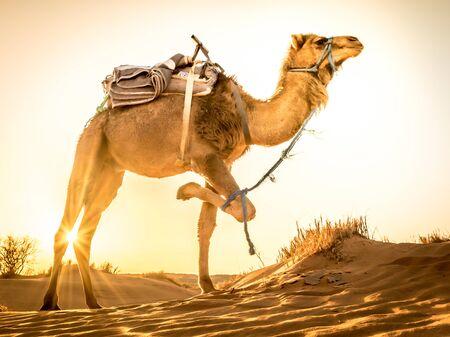 Camel about to walk at Sahara desert during sunrise, Merzouga, Morocco Foto de archivo