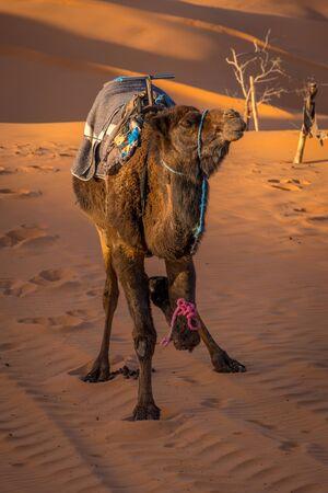 Lonely camel at the sahara desert, Merzouga, Morocco