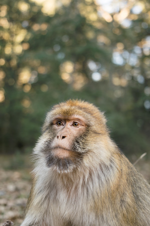 sylvanus: Portrait of a Berber Monkey in Ifrane, Morocco Stock Photo