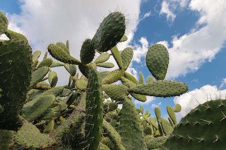 opuntia: A cactus in front of the blue sky with some clouds. the cactus is a opuntia polyacantha.