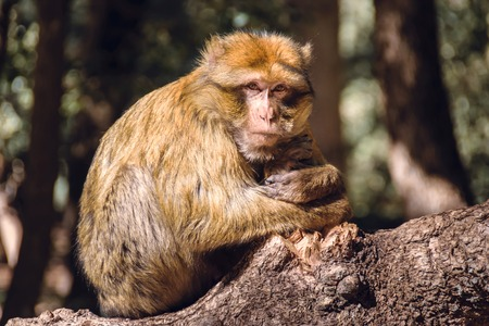 Portrait barbary macaque monkey on a stub, Ifrane, Morocco Stock Photo