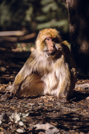 Portrait barbary macaque monkey, Ifrane, Morocco