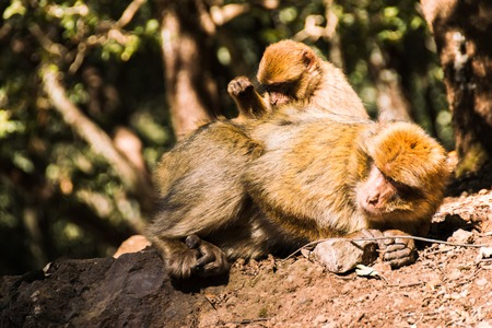 Two brarbary macaque monkeys delousing, Ifrane, Morocco
