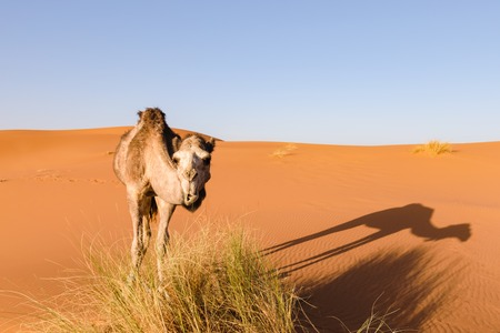 Camel looks at camera, Morocco Stock Photo