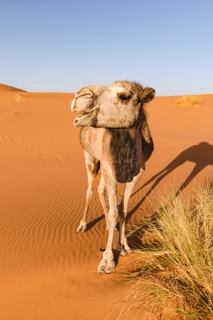 Camel looks like it is laughing, Erg Chebbi, Morocco