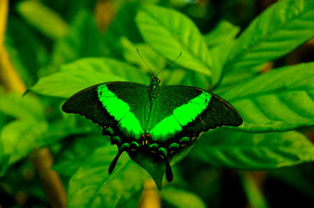 aruba: Green butterfly from butterfly farm in Aruba Stock Photo