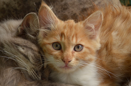 housepet: two small furry kittens lying and hugging