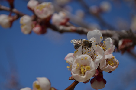 gathers: Bee gathers honey from the apricot tree in spring