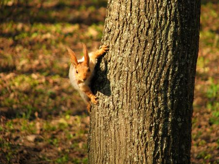Small squirrel looks out because of a tree trunk photo