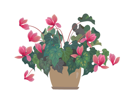 Flower in a pot. Pink Cyclamen. Home flowers. Isolated on white