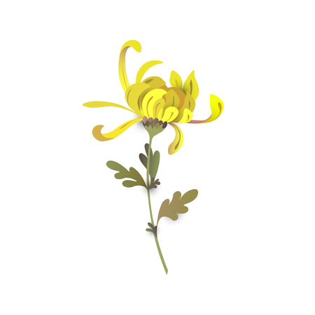 Chrysanthemum flower. Floral design. Yellow chrysanthemum eps10 vector illustration isolated on white Ilustração