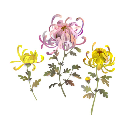 Set of chrysanthemum flowers. Floral bouquet design. Yellow and pink chrysanthemum eps10 vector illustration isolated on white.