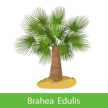 silhoette: Brahea Edulis cartoon tree. Single illustration on a white background