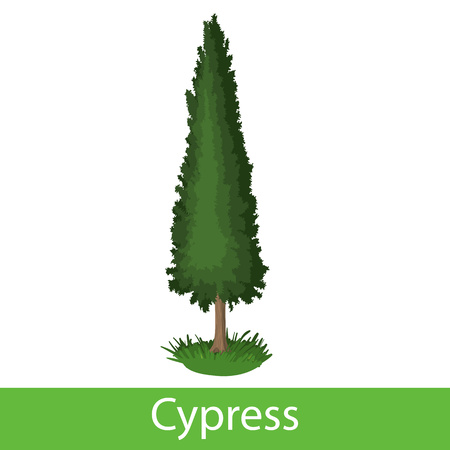 Zypressen-Cartoon-Symbol Vektorgrafik